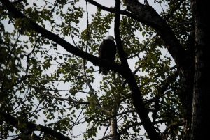 Katchikan Eagle Sitting by Nest