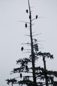 Katchikan Eagles in Tree