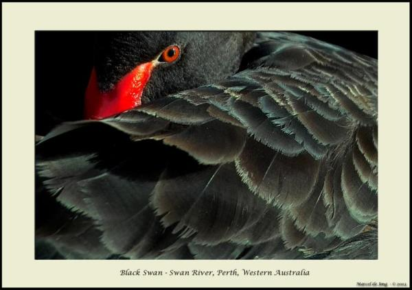 Black Swan Close
